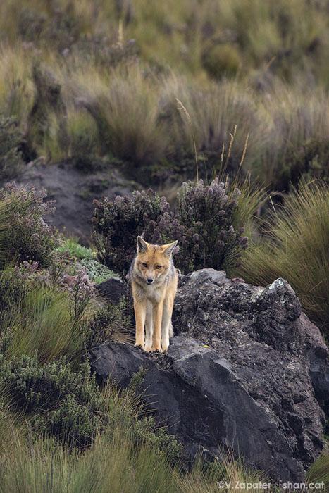 Pseudalopex culpaeus (lobo de páramo) en la Reserva Ecológica Antisana (Ecuador). Pseudalopex culpaeus (common south american fox) in Antisana Ecological Reserve (Ecuador)