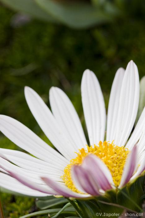 Werneria nubigena (patujashu) en flor. Reserva Ecológica Antisana (Ecuador). Flower or Werneria nubigena. Antisana Ecological Reserve (Ecuador)