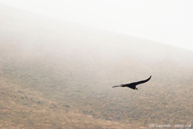 Vultur gryphus (condor andino, andean condor)