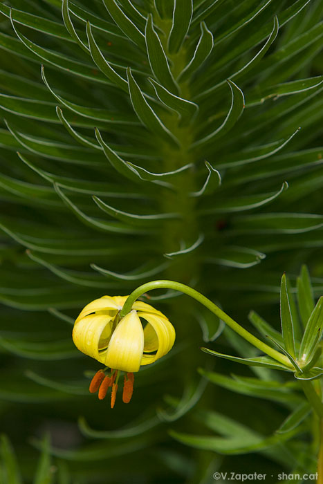Lilium pyrenaicum (flor de lis). Parc Natural Vall de Sorteny (Pirineos, Andorra). Lilium pyrenaicum. Sorteny Valley Natural Park (Pyrenees, Andorra)