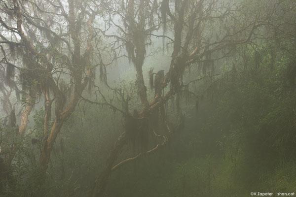 Bosque-de-Polylepis-en-Yanacocha